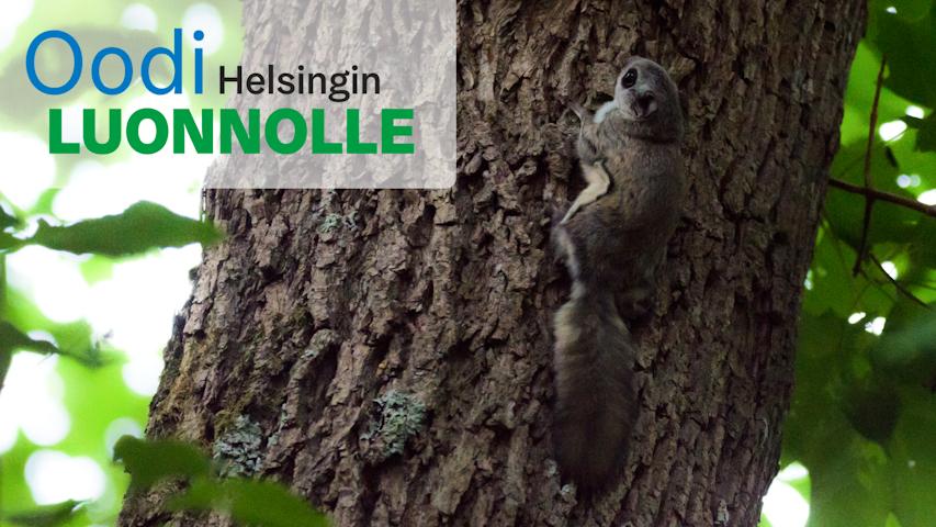 Liito-oravaretki Keskuspuistossa